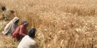 اندرون سندھ گندم کے خریداری مراکز قائم نہ ہونے پر آبادگار پریشان