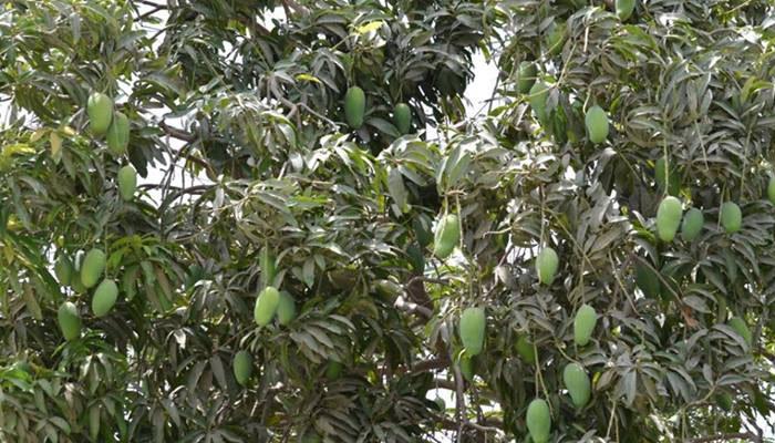 نصرپور: پانی کی قلت اور پت چھڑ سے آم کے باغات کو شدید نقصان