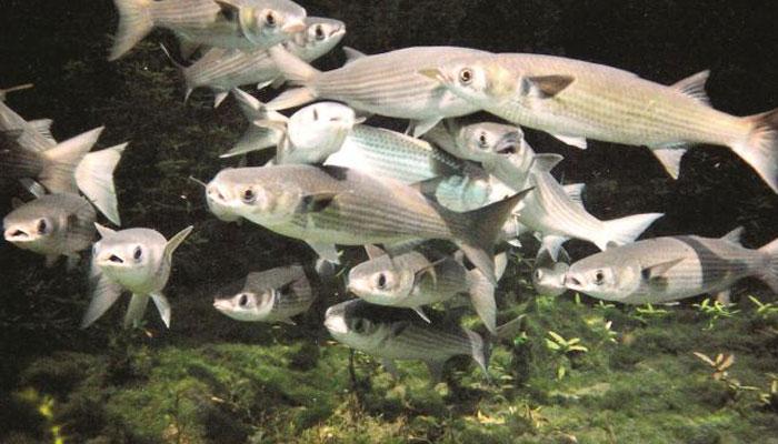 ماحولیاتی تبدیلی، مچھلیاں انڈے دینا چھوڑ سکتی ہیں