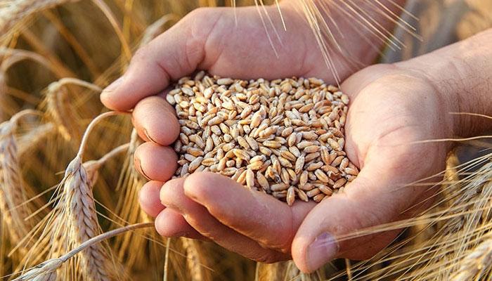 درآمدی گندم آتے ہی ملکی گندم کی قیمت 450روپے بوری کم ہوگئی