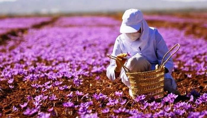 ایران دنیا کو 94فیصد زعفران برآمد کرنے والا ملک بن گیا