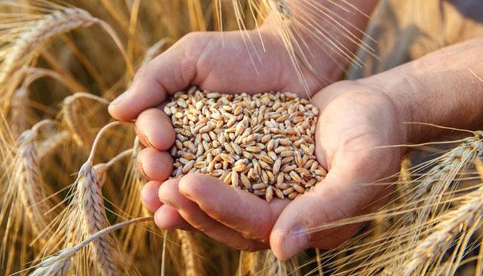 بروقت گندم درآمد نہ ہونے سے قومی خزانے کو  150 کروڑ کا نقصان