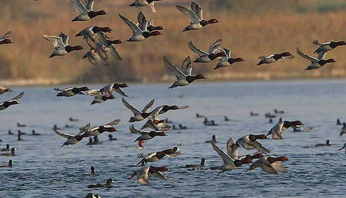 سائبرین پرندوں کی مانیٹرنگ کیلئے ٹیلی میٹرنگ منصوبہ تیار