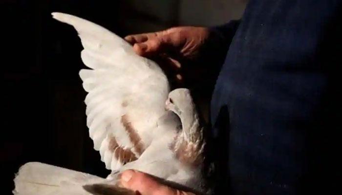 بھارتی سیکیورٹی فورس کی شکایت کبوتر کے خلاف مقدمہ درج
