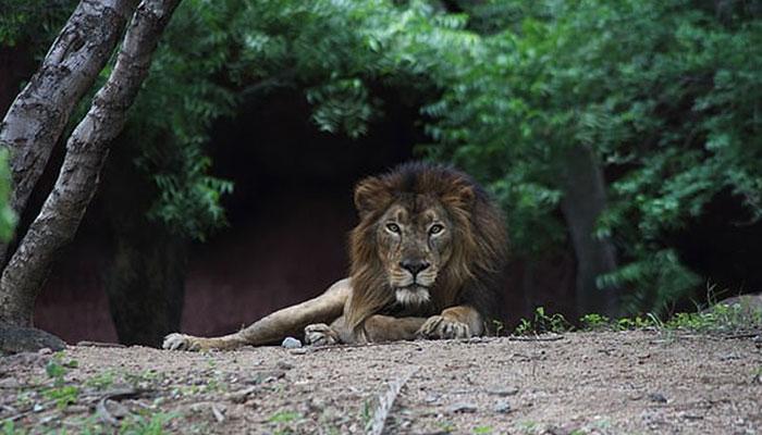 بھارت، چڑیا گھر کے 8 شیر کورونا وائرس میں مبتلا ہوگئے
