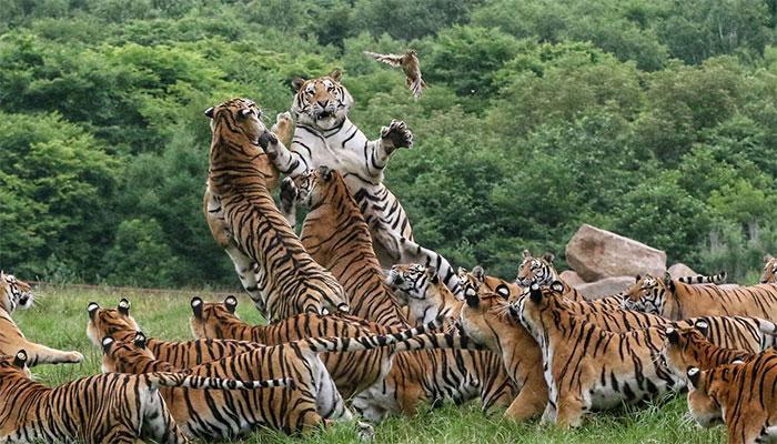 چین میں 3 خطرناک چیتے چڑیا گھر سے فرار ہوگئے