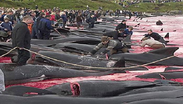 ڈنمارک کے جزائر میں 1400سے زائد ڈولفنز کو کیوں ذبح کیا گیا؟