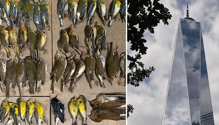 نیویارک کی شیشے کی عمارتیں مہمان پرندوں کیلئے موت بن گئیں