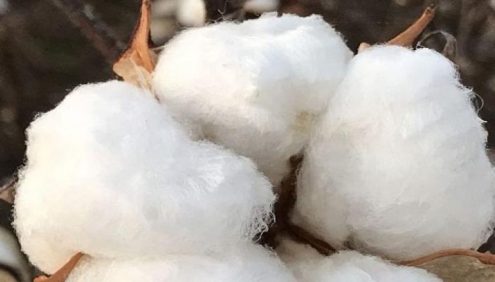 پنجاب میں کپاس کی پیداوار نے 6برسوں کا ریکارڈ توڑ دیا