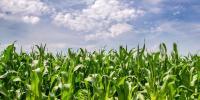 مویشیوں کی نشو نما کیلئے ''چارے '' کی فصلوں کی اہمیت