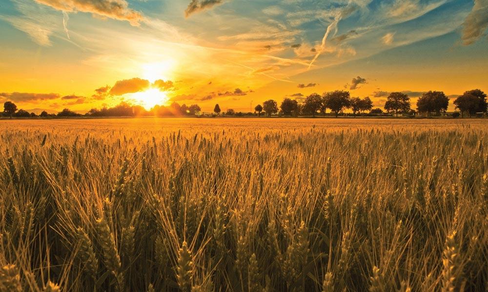 تھور اور کلرزدہ زمینوں میں گندم کی کاشت