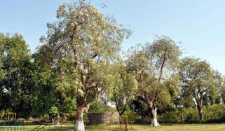 پاکستان میں پایا جانے والا کرشماتی درخت
