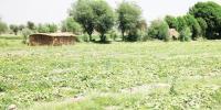 سندھ کی مٹی ''سونا'' اُگلتی ہے