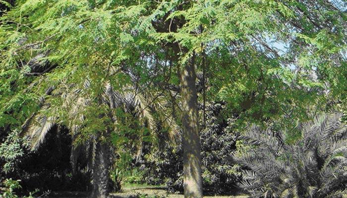 صنوبر کے جنگلات کا ماتم