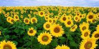 سائنسی دنیا: سورج مُکھی کیا ہے