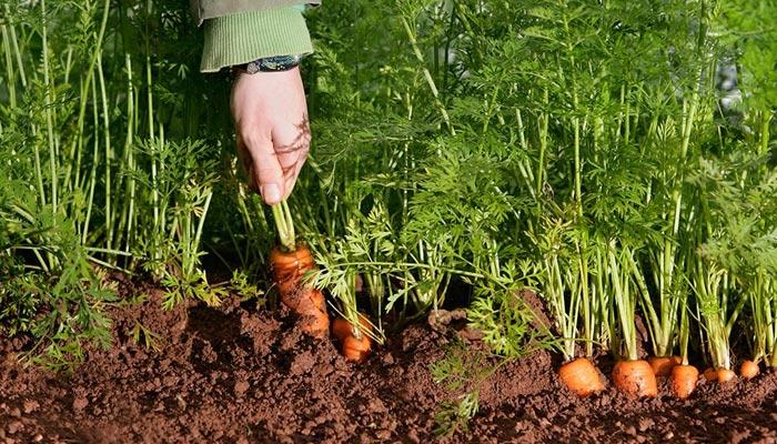 گھر میں سبزیاں اُگائیں