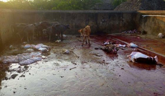 Illegal Slaughter House