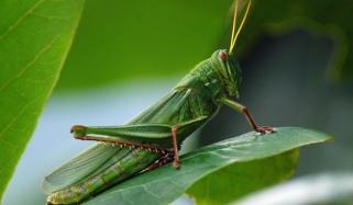 Swarm And Locust