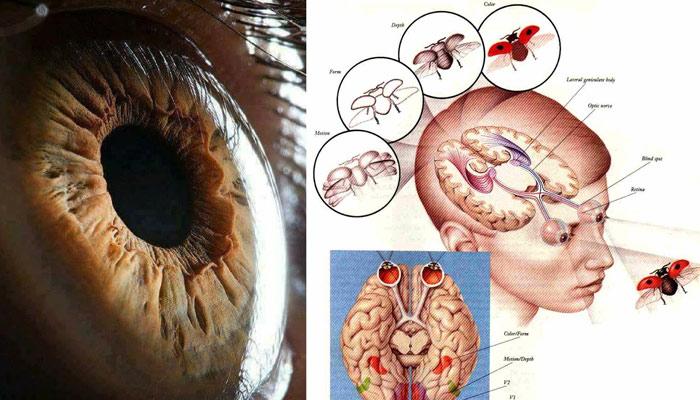 سائنسی خبرنامہ: انسانی آنکھ کیسے کام کرتی ہے
