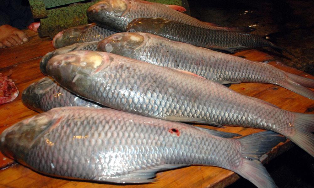 ''ڈمبرا مچھلی''صدیوں پہلے سندھ کی معیشت کا انحصار اسی پر تھا
