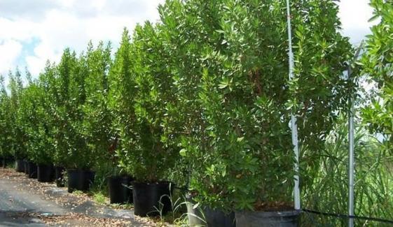 Conocarpus