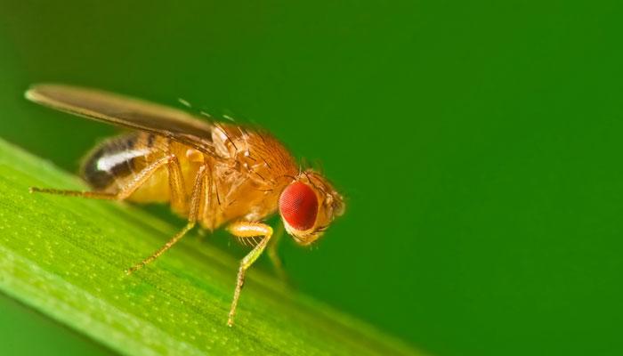 'فروٹ فلائی' امراض پر تحقیق میں معاون مکھی