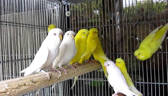 پرندے پالنے کا حکم