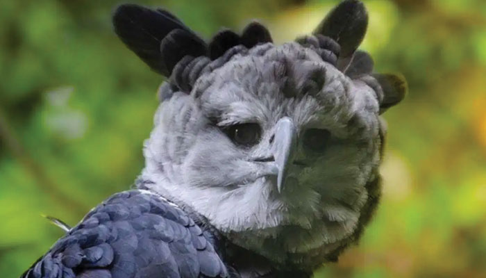 ''ہار پی ایگل'' عجیب و غریب پرندہ