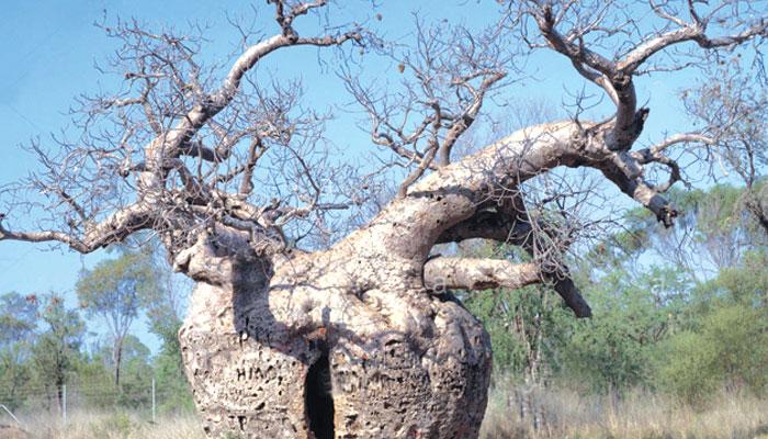 عجیب و غریب درخت ''باؤبیب''