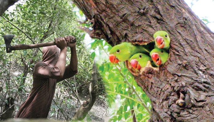 کراچی کے قدیم درخت اور ان پر بسیرا کرنے والے پرندے کہاں گئے؟