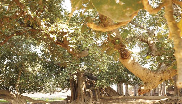 قدیم درخت کا عجیب نام ''روڈھے شاہ مائی بوڑھ''
