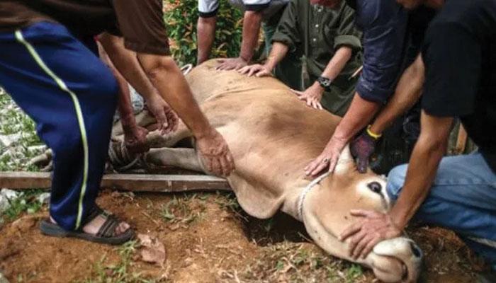 اگر قربانی کے جانور کے پیٹ سے بچہ نکلا ہو…!