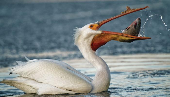 کروڑوں سال قدیم ''ٹروڈ کٹائل'' نسل کا پرندہ ''پیلکن''