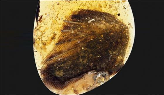 Rare Dinosaur Era Bird Wings Found Trapped In Amber