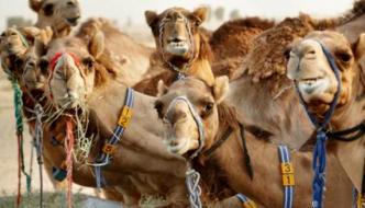 Camel Milk The White Gold Of Dubai