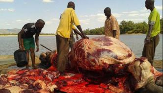 Africa Tribes Eat The Meat Of Crocodile And Hippopotamus