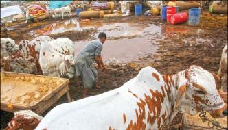 Rain And Duststorm Creates Problems For Cattle Market In Karachi