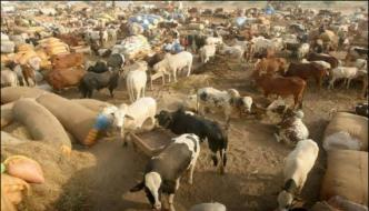 Balochistan Spraying Campaign To Prevent Congo Virus In Cattle