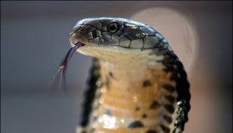 King Cobra Found From Home In China