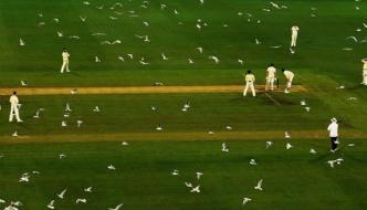 Australia Swarms Of Seagulls Take Over Mcg Ground