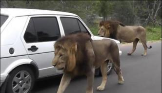 Lions Walk On South African Road Traffic Jam