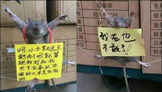 Rice Stealing Rat Caught In China