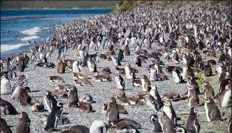 Penguin 10 Million Were Collected On Beaches Arjntyna