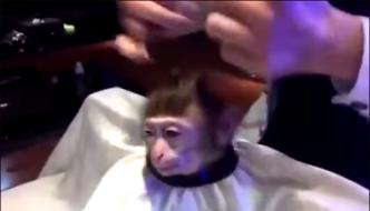 Monkey Hair Cutting Video Viral On Social Media