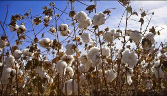 Cotton Cultivation In Sindh Starts