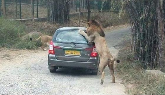 Tiger Attack On A Tourist Vehicle In India