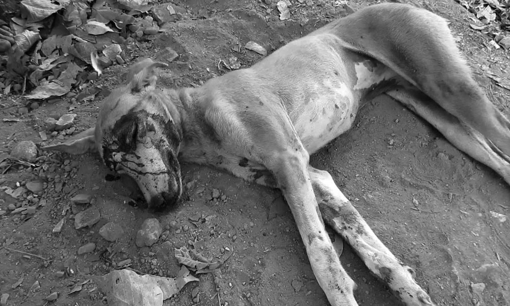 Campaign Against Stray Dogs In Karachi