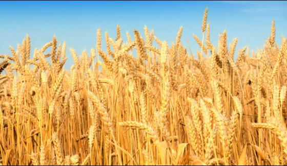 Wheat Harvest Started In Sindh