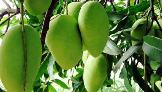 Nasarpur Diseases In Mango Orchards May Cut Production