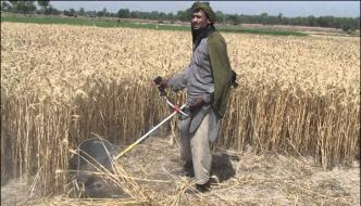 Mirpur Khas New Crop Of Wheat Has Been Reached The Market